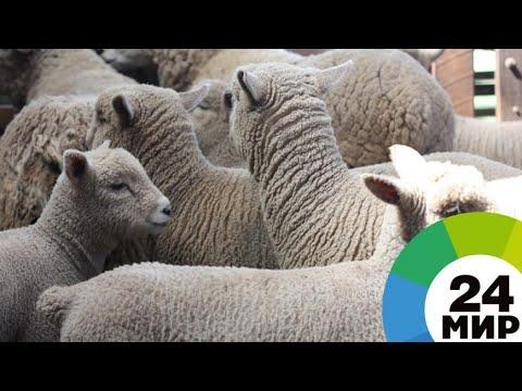Фермер из Кыргызстана разводит овец с особой шерстью - МИР 24
