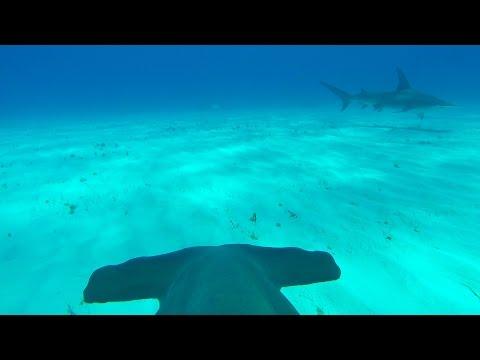 GoPro: Hammerhead Fin Cam in 4K