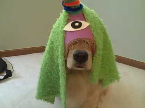 Funny Golden Retriever Dogs Star in