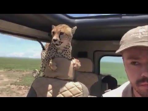 Cheetah jumps into safari car, forcing man...