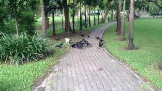 Вороны отбирают еду у кошки