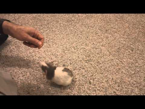 Our four rats doing simple tricks