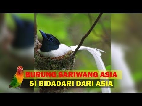 Sarang dan Anakan Burung Seriwang Asia  (Tali Pocong) Di Hutan