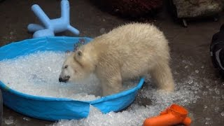 Watch This Polar Bear Cub Totally Lose It Playing In Ice Cube Filled Kiddie Pool