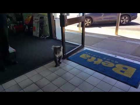 Koala Wanders Into Electrical Store and Becomes Confused by Glass Windows