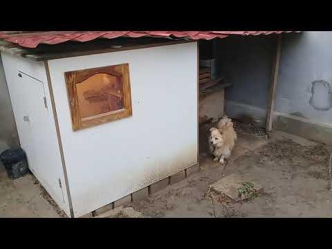Azerbaycan Dan Elcan  Reisin Kuslari Pigeon Baku