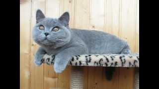 Британскому коту Янику 5 месяцев