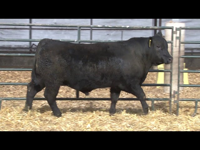 Schiefelbein Angus Farms Lot 252