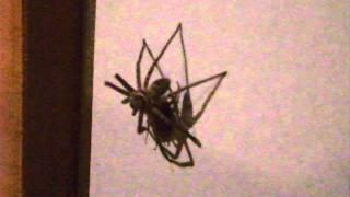 【閲覧注意!】【衝撃】ゴキブリを捕まえて食べるアシダカグモ!!!