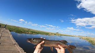 Рыбалка КАСТИНГОВОЙ сетью с моста ЩУКА и ЧЕБАК на каждом забросе