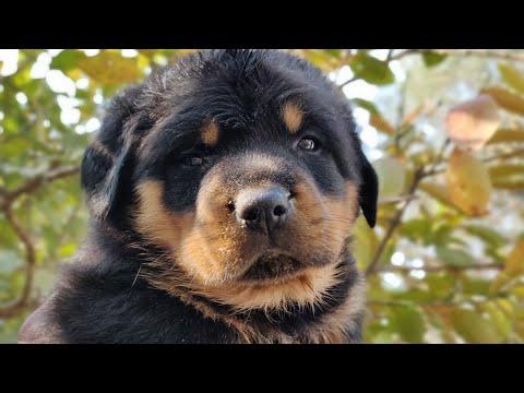 Rottweiler puppies  on sale - about Rottweiler - 8813825366,7404011122  DOGGYZ WORLD