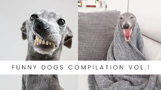 Funny Dogs Compilation Vol. 1 Italian Greyhounds