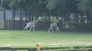Afrykańska sawanna - biegające żyrafy i zebry w oliwskim ZOO