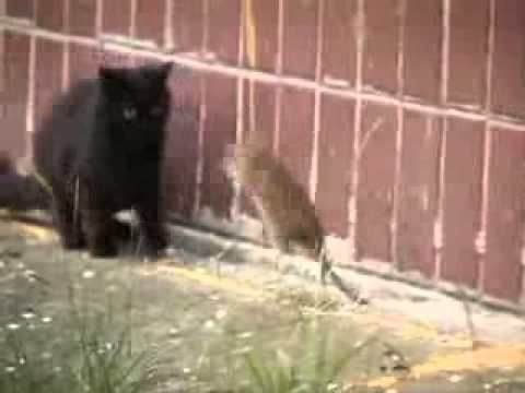 Ποντίκι που δεν φοβάται τις γάτες!!