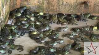 Wild Singapore: Jurong Frog Farm