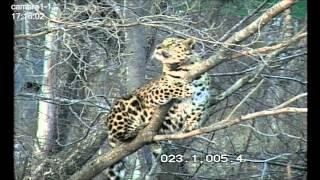 Дальневосточный леопард Leo 80M на дереве/Amur leopard on the tree