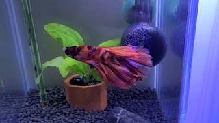 (Betta Fish Tank Water Change)…