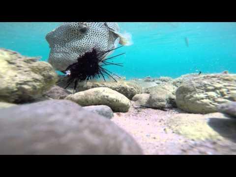 fish eats sea urchin