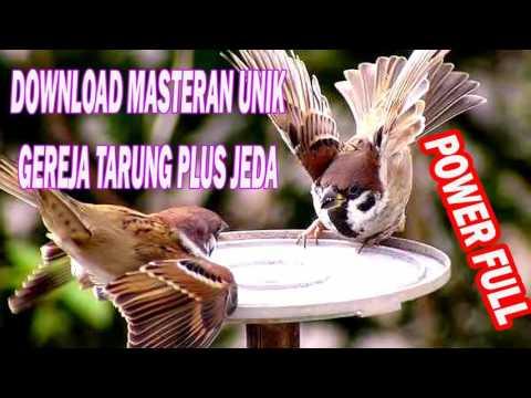 DOWNLOAD SUARA MASTERAN BURUNG GEREJA TARUNG FULL HD