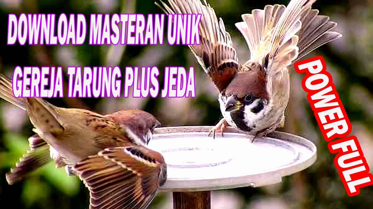 Download Suara Masteran Burung Gereja Tarung Full Hd Youtube
