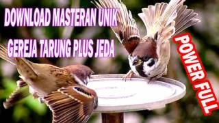 DOWNLOAD SUARA MASTERAN BURUNG GEREJA TARUNG FULL HD