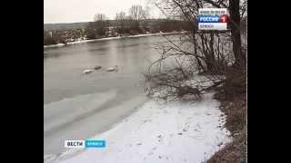 В Брянске на Десне, в районе центрального пляжа остановились на зимовку лебеди(ГТРК