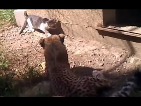 Cheetah vs Cat - Cheetah Trolled by Lucky Cat - Accident in Tbilisi Zoo