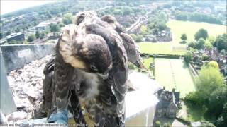 Hawk and Owl Trust Urban Peregrines Project Norwich Cathedral