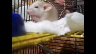 """Жесть! Новая порода крыс """"Лопухианская""""."""