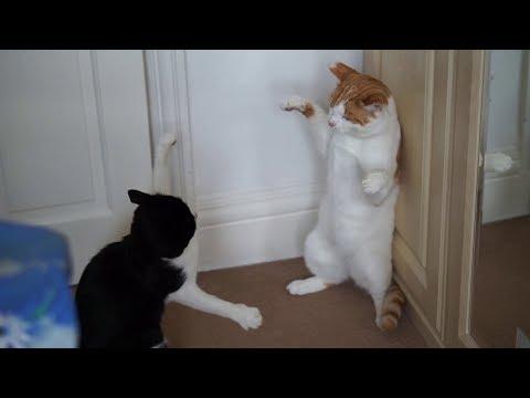 Crazy Cat Fight | Original