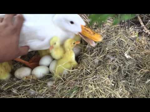 Pekin ducklings hatching