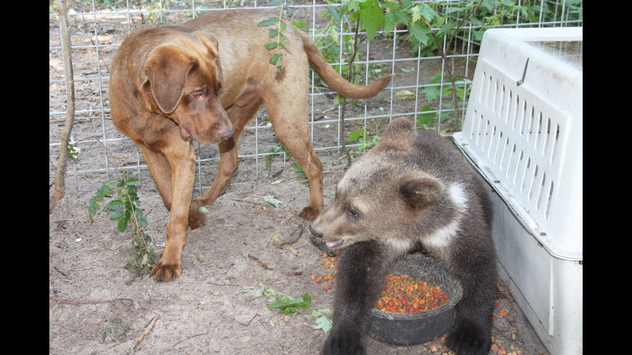 Millie Our 5 Month Old Syrian Brown Bear And Her Dog King