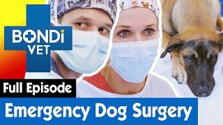 Mastiff Dog In Need Of Immediate Surgery!   S09E09   Bondi Vet