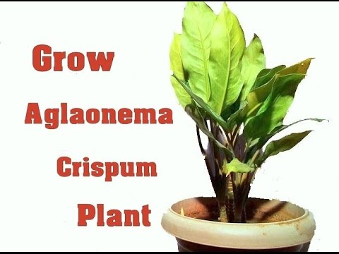 How To Grow Chinese Evergreen Plant Plants Care Tips