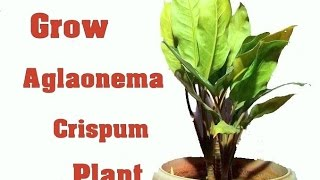 How to Grow Chinese Evergreen Plant / Plants Care & tips // MammalBonsai