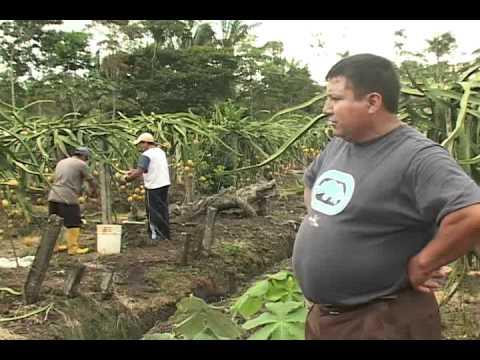 pitahaya palora ecuador - youtube