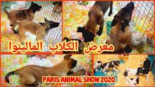 Paris Animal Show 2020 3 معرض الكلاب المالينوا في باريس الجزء Youtube