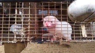 """Как """"добывают"""" мех на шубки..Расследование PETA"""