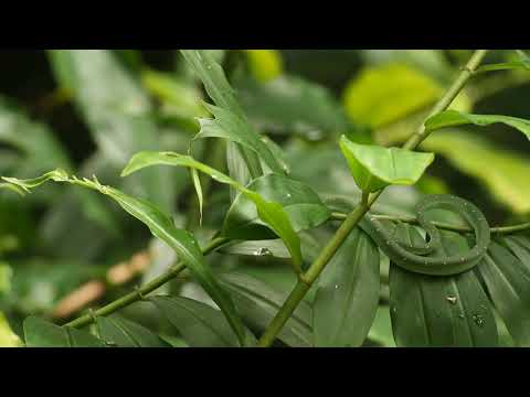 Joint mobbing on Pit Viper at Dairy Farm Nature Park, Singapore by Thong Chow Ngian