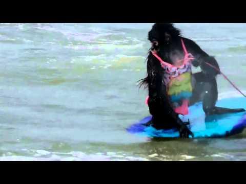 Un singe-araignée s'adonne aux joies du surf