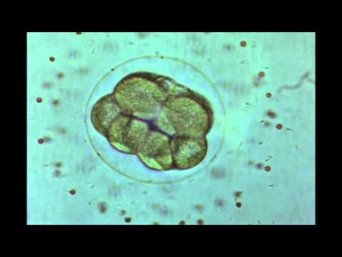 20. Echinoderm Development: Fertilization And Cleavage (Dendraster Eccentrius)