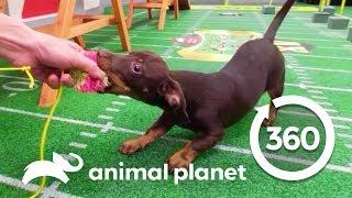 Charlie and Panda Show Off Their Skills | Puppy Bowl XV: Training Camp (360 Video) thumbnail