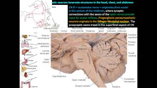 Parasympathetic division of the Autonomic Nervous System (ANS) - Anatomy and Physiology