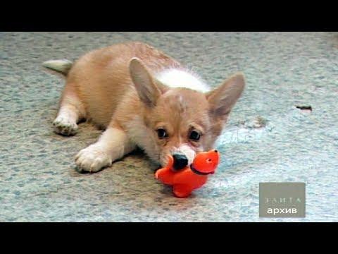 На фото Как правильно выбрать щенка вельш-корги пемброк изображение