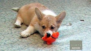 Как правильно выбрать щенка вельшкорги пемброк