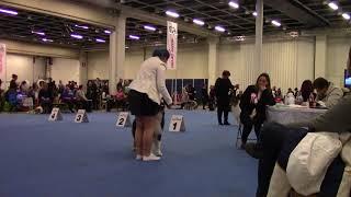 ринг  кобелей юниоров на выставке Nordic Winner: в Хельсинки 09.12.17 thumbnail