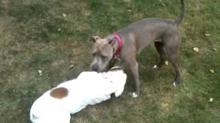 American Pit Bull Terrier Fights English Bull Dog Fight