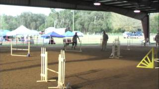 Agility Jumpers Novice Title - Kaya Rescued Mix - Rat Terrier X Border Collie