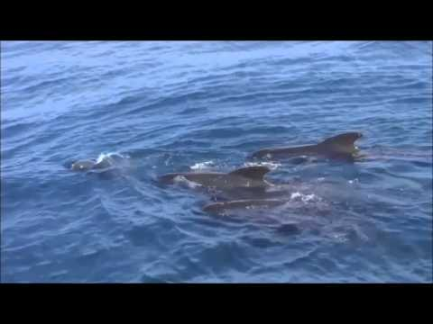 Pilot whales mating and playing in the Strait of Gibraltar by firmm
