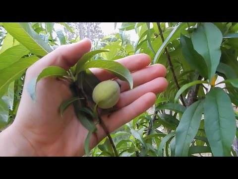 Peach Trees - Grown From Seed!
